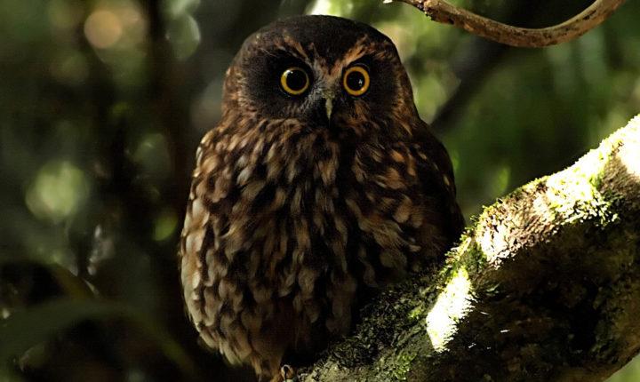 Morepork owl Wairua Lodge