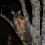 Possum in the macademia tree at Wairua Lodge